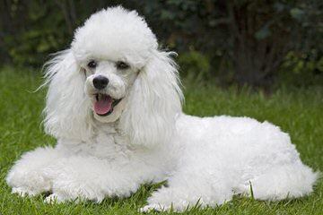 Zamora's Toy Poodles - Dog Breeders