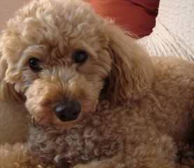 Redlandspoodles - Dog Breeders