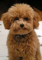 Toy Poodle Blacky As Daddy - Dog Breeders