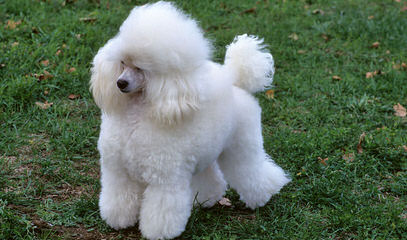 Adorable Poodles - Dog and Puppy Pictures