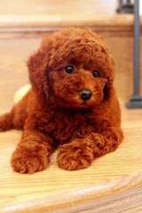Harriet's Poodles - Dog Breeders
