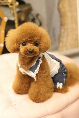 Toy Poodle Minnesota - Dog Breeders