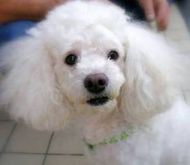 Akc Toy Poodles - Dog Breeders