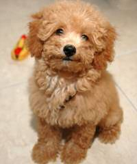 Poodle Looking For A Good Home - Dog Breeders
