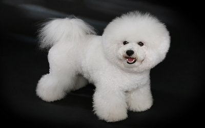 Dreams R Made Teacup And Toy Poodle Dog - Dog Breeders