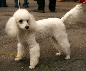 Kelley's Gone To The Dogs: Bulldogs & Toy Poodles - Dog Breeders