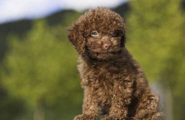 Toy Poodle Minnesota - Dog Breeders