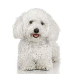Jenloren Poodles – Toy And Miniature Poodles - Dog Breeders