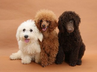 Harriet's Poodles - Dog Breeders