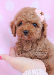 Swancreek Toy Poodles N More - Dog Breeders