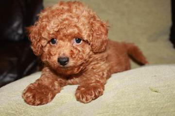 Madthai Toy Poodles - Dog Breeders