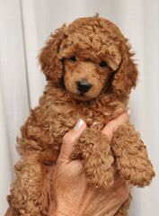 Toy Poodle Puppies For Sale,Blk 3 Male 8 Wks Old - Dog Breeders