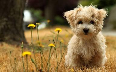 TX POODLE PUPS - Dog Breeders
