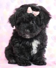Akc Toy To Small Miniature Poodles - Dog Breeders