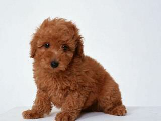Fisher's Kolorful Toy Poodles - Dog Breeders