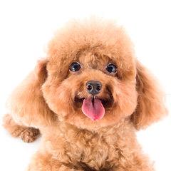 Fischer's Fairytale Pups Tinies & Teacups Puppies - Dog Breeders