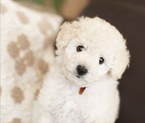 Tiny Toy Poodles - Dog and Puppy Pictures