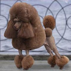 Sharon's Poodles - Dog Breeders