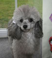 Marilynn's Little Red Toy Poodles - Dog Breeders