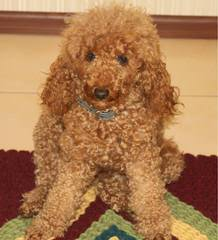 Poodle Puppies (Toys) & (Mini's) - Dog and Puppy Pictures