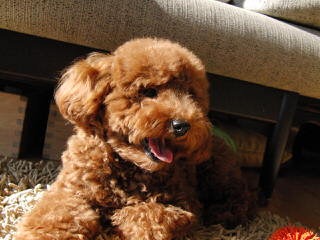 Poodles - Dog and Puppy Pictures