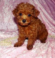 Poodle Puppies (Toys) & (Mini's) - Dog Breeders