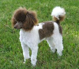 Female Adult Toy Poodle - Dog Breeders