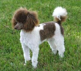 Pray's Precious Toy Poodles - Dog Breeders
