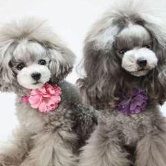 Adorable Poodles - Dog Breeders