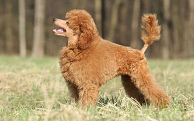 Tiny Toy Poodles - Dog Breeders