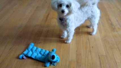 Poodles Toy And Teacup - Dog Breeders
