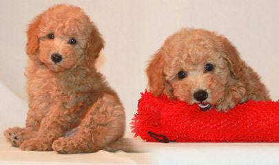 Madthai Toy Poodles - Dog Breeders