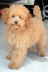 Adorable Poodles - Dog Breeders