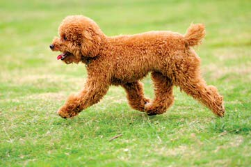 Shownoff Poodles And Yorkies - Dog Breeders