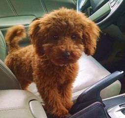 Toy Poodle Puppy - Dog Breeders