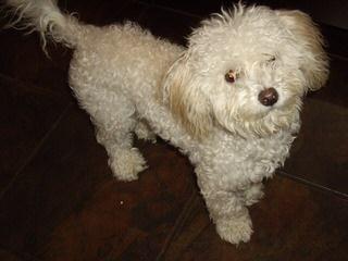 Akc Toy Poodles - Dog Breeders