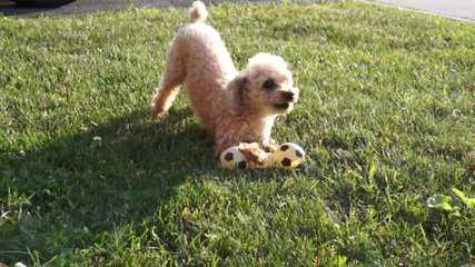Dreams R Made Teacup And Toy Poodle Dog - Dog and Puppy Pictures