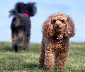 Cuty Shih-Tzu Puppies - Dog Breeders