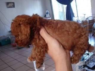 Poodles - Dog Breeders