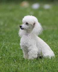 Primavera Puppies - Dog Breeders