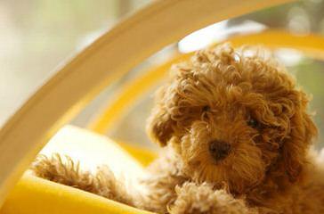 Tiny Toy Poodles - Dog Breeders