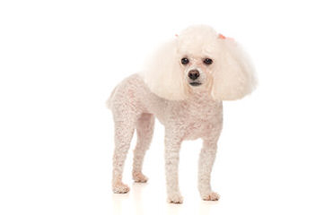 Toy Poodle New Jersey - Dog Breeders