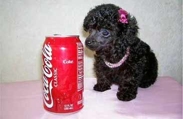 Maltipoos - Dog Breeders