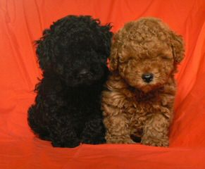 Fourpoints Poodles Top Quality Toy Poodles - Dog Breeders
