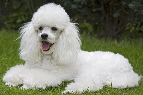 Toy Poodle Dogs and Puppies