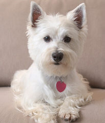 Fourche Terrier Pups West Highland White Terrier - Dog and Puppy Pictures