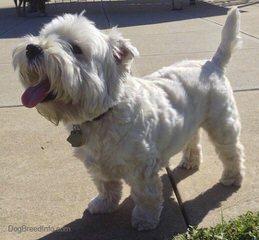 Highland Westies - Dog Breeders