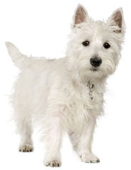 West Highland White Terrier Pups - Dog Breeders