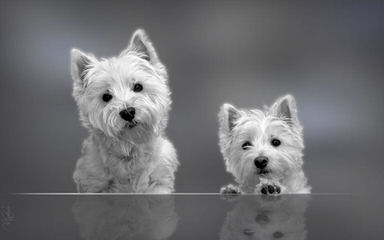 West Highland White Terriers For Sale - Dog Breeders