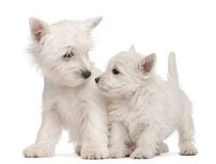 Windsor Westies - Dog Breeders